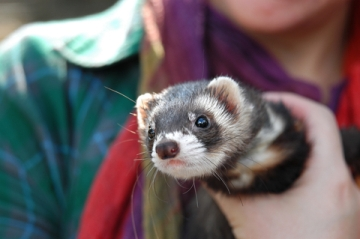 ferret shelters rescues directory