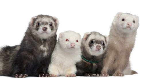 4 Ferrets of Various Ages