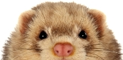 Ferret Shelters Directory Peeking Ferret Licensed Image