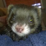 FriskyBiznus Ferret Sanctuary