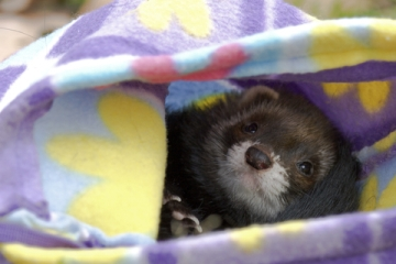 Ferret In Sleeper Promoting SAFR Shop A Ferret Rescue