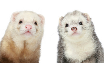 Two Ferrets Sitting Licensed Image