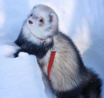 Nirvana Ridge Ferret Rescue