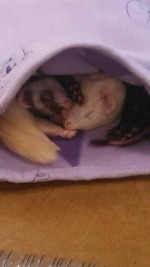 Lane Area Ferret Shelter and Rescue