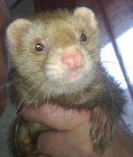 FriskyBiznus Ferret Sanctuary