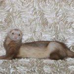Eira's Dream Ferret Rescue