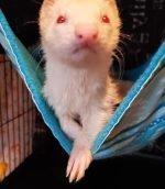 Furever Home Ferret Rescue & Sanctuary