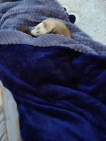 Dooks of Earl Ferret Rescue and Safe Haven
